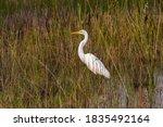 Great Egret Wading In Marsh...