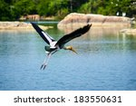 A Painted Stork In Flight Over...
