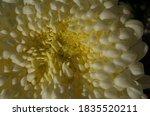 Soft Light Yellow Flower Cente...