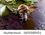 The Snail Is Crawling On A Wet...