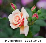 Stock photo garden rose small depth of sharpness 183563435