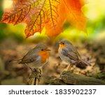 Red Robin  Erithacus Rubecula ...