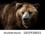 Front View Of Brown Bear...