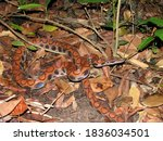 Brazilian Snake Of Amazon Forest