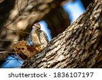 Woodpecker Bird In The Tree