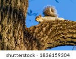 An Eastern Gray Squirrel ...