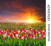 landscape with large tulip... | Shutterstock . vector #183630629