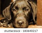 cute black labrador puppy with... | Shutterstock . vector #183640217