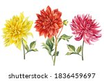 Set Of Coloreds Dahlias Flowers ...