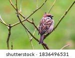 Sparrow Bird Perched Sitting O...