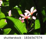 Blooming Calachuchi Flower In...
