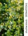 Small photo of Bertram Anderson Thyme - Latin name - Thymus x citriodorus Bertram Anderson