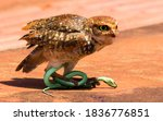 Burrowing Owl and her prey, the green snake