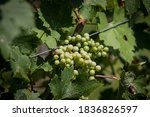 Closeup On A Bunch Of Unripe...