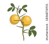 vector drawing trifoliate... | Shutterstock .eps vector #1836876931