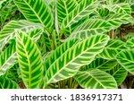 pattern leaves of calathea...   Shutterstock . vector #1836917371