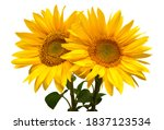 Sunflowers Bouquet Isolated On...