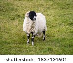 Sheep On The Pennine Way On To...