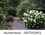 Hydrangea Arborescens  Commonl...