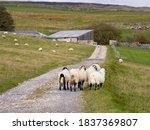 Flock Of Sheep On The Pennine...