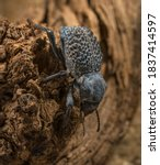 This macro image shows a top view of a Asbolus verrucosus (desert ironclad beetles or blue death feigning beetles) beetle climbing down desert driftwood.