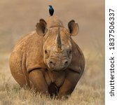 The Rhino Sets Across The...