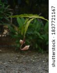 Small photo of crenate orchid cactus or bunga wijayakusuma, epiphyllum crenatum the mth flower that bloom at night
