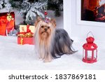 A Yorkshire Terrier With A Bow...