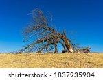 Fallen Tree In The Steppe. Dead ...