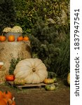 Pumpkins On A Pumpkin Farm