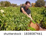 Young man works during the New Mexico chiles harvest as he puts a Hatch Valley green chile pepper into crop basket while sitting in a field of chili plants and other vegetables in Albuquerque, NM, USA