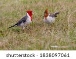 Red Crested Cardinal Adult...