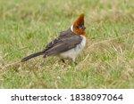 Red Crested Cardinal  Waimea...