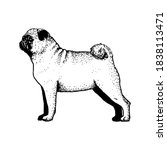 realistic pug dog. dog breed  ... | Shutterstock .eps vector #1838113471