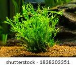 Aquatic Fern  Microsorum...