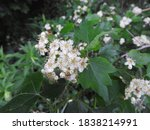Hawthorn Tree In Bloom With...