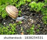 Closeup Macro Black Snail ...
