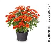 Blossoming Red Chrysanthemum In ...