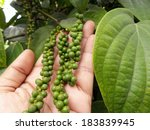 Fresh Green Peper On Peper Tree