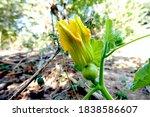 zucchini plant. zucchini flower....   Shutterstock . vector #1838586607
