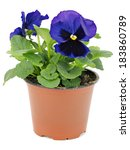 Flower Pots With Pansies...