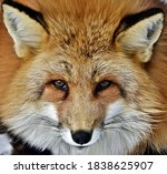 Red Fox Face Close Up