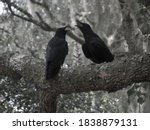 Two Black Crows In A Gray Wood