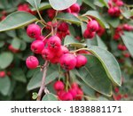 Many Flowered Cotoneaster  In...