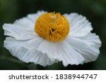 Matilija Poppy  Romneya  Flower ...