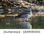 Goose Standing In A Little Pond ...