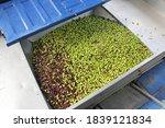 Harvested Olives On The Press...