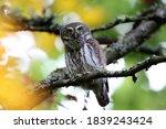 Eurasian pygmy owl, (Glaucidium passerinum) Swabian Jura.
