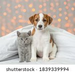 Jack Russell Terrier Puppy And...