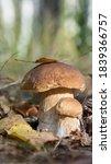 Mushrooms Cut In The Woods....